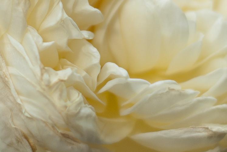 Tag 136 Weiße Rose