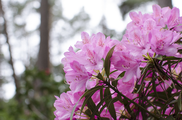 Tag 268 Rhododendron VII