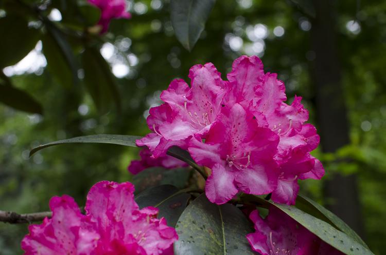 Tag 267 Rhododendron VI