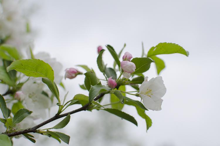 Tag 272 Kirschblüte